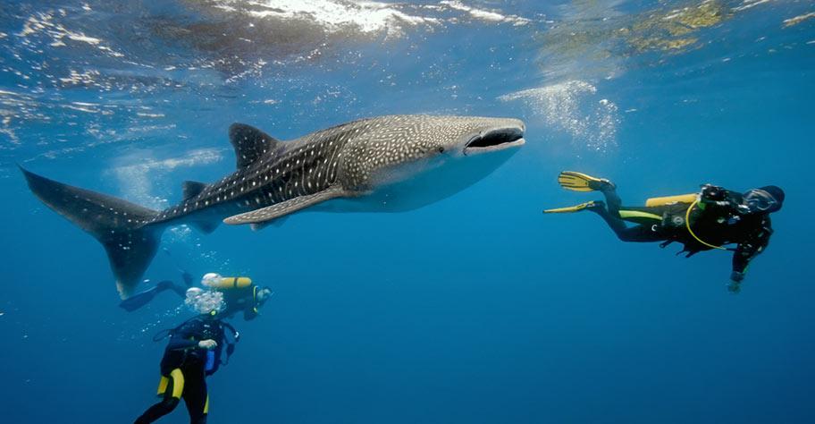 Tauchen Malediven mit Walhai